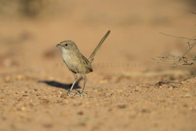 Thick-billed Grasswren - Male (A.m.indulkanna)