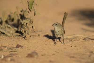 Thick-billed Grasswren - Male (A.m.indulkanna)2