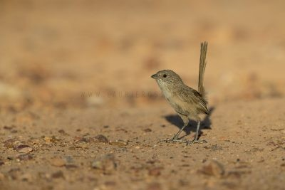 Thick-billed Grasswren - Male (A.m.indulkanna)3
