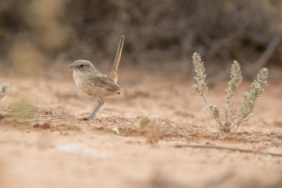 Thick-billed Grasswren - Male (A.m.indulkanna)5