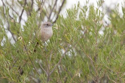 Thick-billed Grasswren - Male sitting up (A.m.indulkanna)6