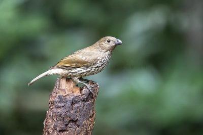 Tooth-billed Bowerbird.