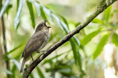 Tooth-billed Bowerbird - Calling1