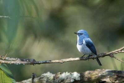 Ultramarine Flycatcher - Male