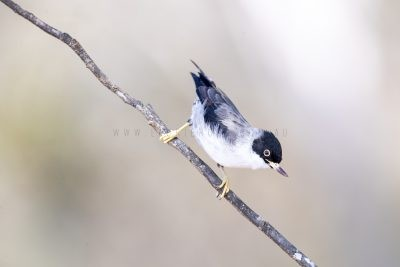 Varied Sittella - Female (Black-capped)