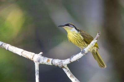 Varied Honeyeater (Lichenostomus versicolor versicolor)