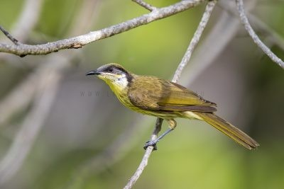 Varied Honeyeater (Lichenostomus versicolor versicolor).1