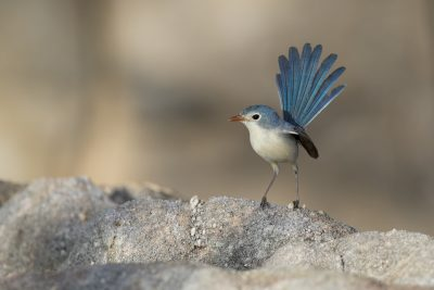 Variegated Fairywren - Female (Dulcis)