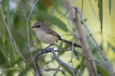 Variegated Fairywren - Female (Malurus lamberti assimilis)