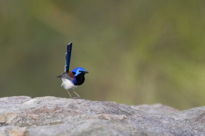 Variegated Fairywren - Male (Dulcis)