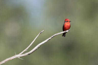 Vermilion Flycatcher - Male (Pyrocephalus rubinus)
