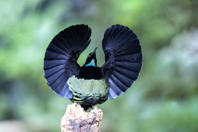Victoria's Riflebird (34)