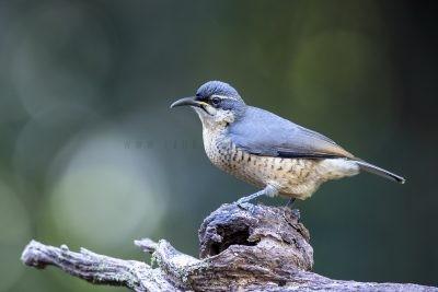 Victoria's Riflebird - Charlie
