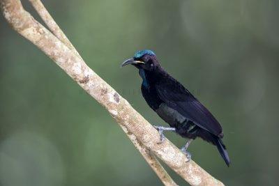Victoria's Riflebird - Male
