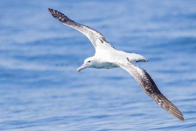 Wandering Albatross - In Flight