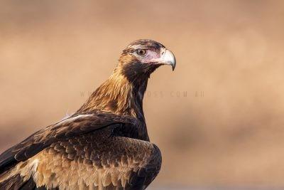 Wedge-tailed Eagle - Juvenile Portrait