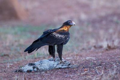 Wedge-tailed Eagle - On Roadkill (Aquila audax)