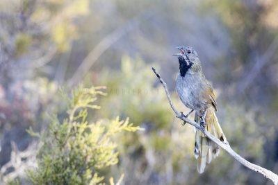 Western (Black-throated) Whipbird - Singing