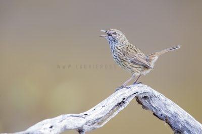 Western Fieldwren - Singing