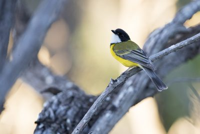 Western (Golden) Whistler - Male (Pachycephala pectoralis fuliginosa)