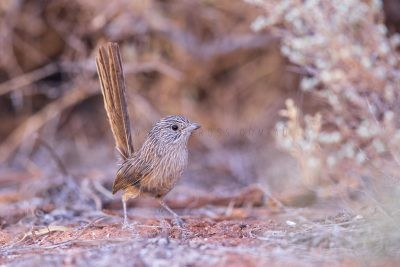 Western Grasswren - Juvenile Female (Amytornis textilis myall)