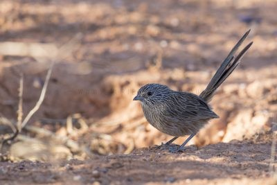 Western Grasswren - Male (A.m.myall) - On the ground