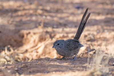 Western Grasswren - Male (A.m.myall) - On the ground1