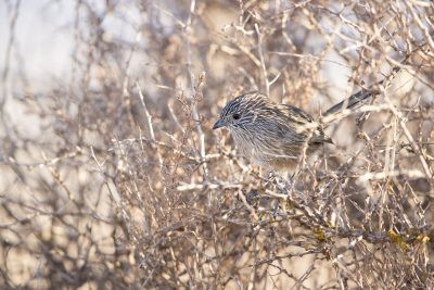 Western Grasswren - Male. (A.m.Myall) - In Bush