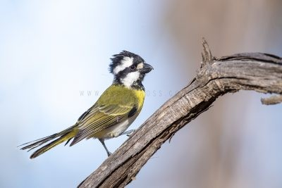 Western Shrike-tit - Male