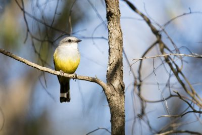 Western Yellow Robin (Eopsaltria griseogularis griseogularis)
