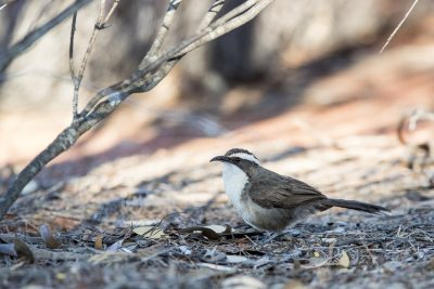 White-browed Babbler (Pomatostomus superciliosus).
