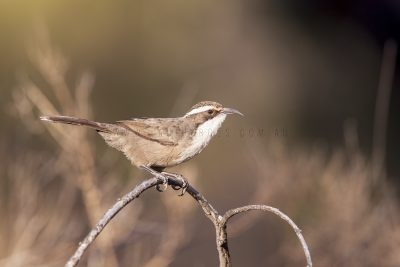 White-browed Babbler (Pomatostomus superciliosus centralis)