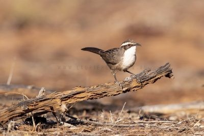 White-browed Babbler (Pomatostomus superciliosus centralis).1