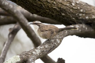 White-browed Babbler (Pomatostomus Superciliosus Gilgandra) - Binya, NSW