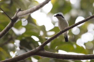 White-browed (Blyth's) Shrike-babbler (Pteruthius aeralatus)