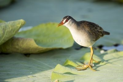 White-browed Crake (Amaurornis cinerea)