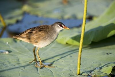 White-browed Crake (Amaurornis cinerea)1