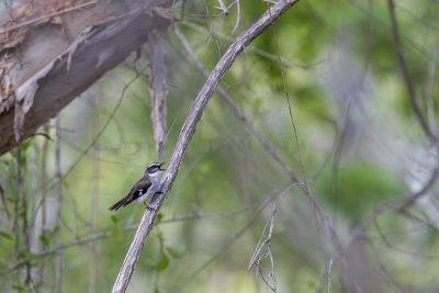 White-browed Robin (Poecilodryas superciliosa).2