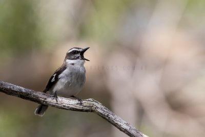 White-browed Robin - Singing (Poecilodryas superciliosa)