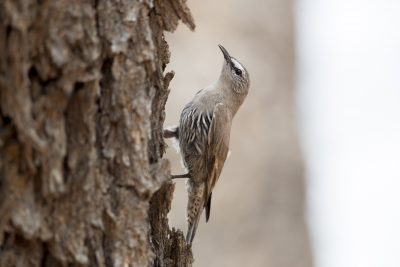 White-browed Treecreeper (Climacteris affinis affinis)