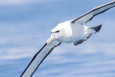 White-capped Albatross - Portrait