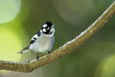 White-eared Monarch (Carterornis leucotis)