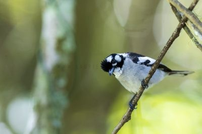 White-eared Monarch (Carterornis leucotis).1