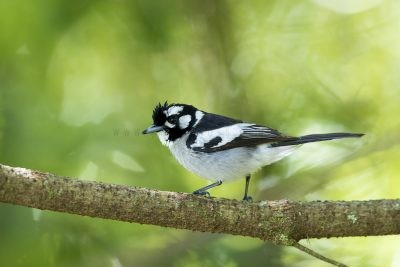 White-eared Monarch (Carterornis leucotis).4