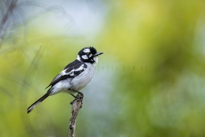 White-eared Monarch (Carterornis leucotis).5