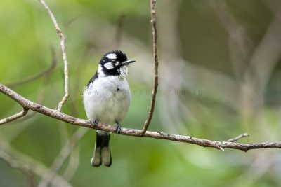 White-eared Monarch (Carterornis leucotis).6