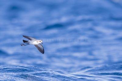 White-faced Storm-Petrel (Pelagodroma marina dulciae)