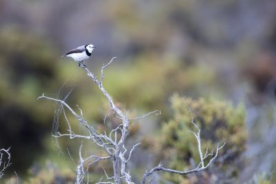 White-fronted Chat - Male (Epthianura albifrons).