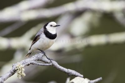 White-fronted Chat - Male (Epthianura albifrons)