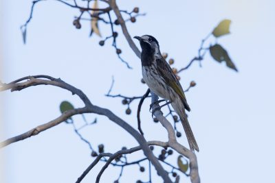 White-fronted Honeyeater (Purnella albifrons)